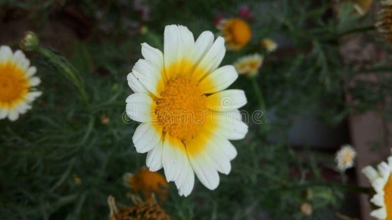 Planta constante rhizomatous da margarida com raio branco e as flores amarelas do disco imagem de stock
