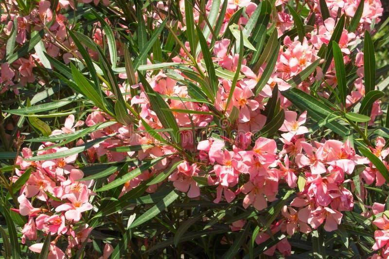 Planta cor-de-rosa do oleandro com flores fotos de stock