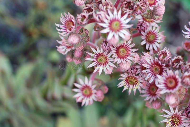 Planta cor-de-rosa de florescência do houseleek, vista superior fotos de stock