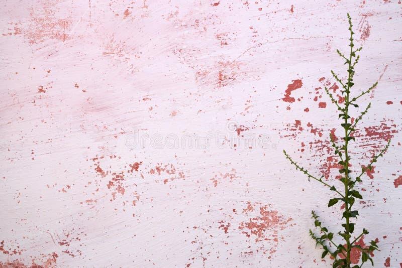 A planta cresce acima na parede cor-de-rosa velha fotografia de stock