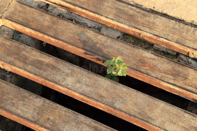 A planta cresce acima na tampa do ferro do dreno na luz solar morna, fundo do sumário do conceito da esperança imagens de stock