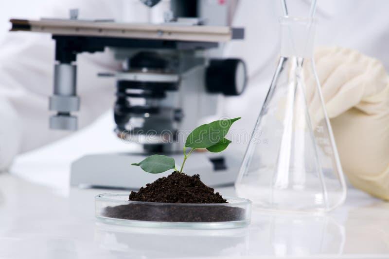 Planta crescente em um laboratório imagens de stock royalty free