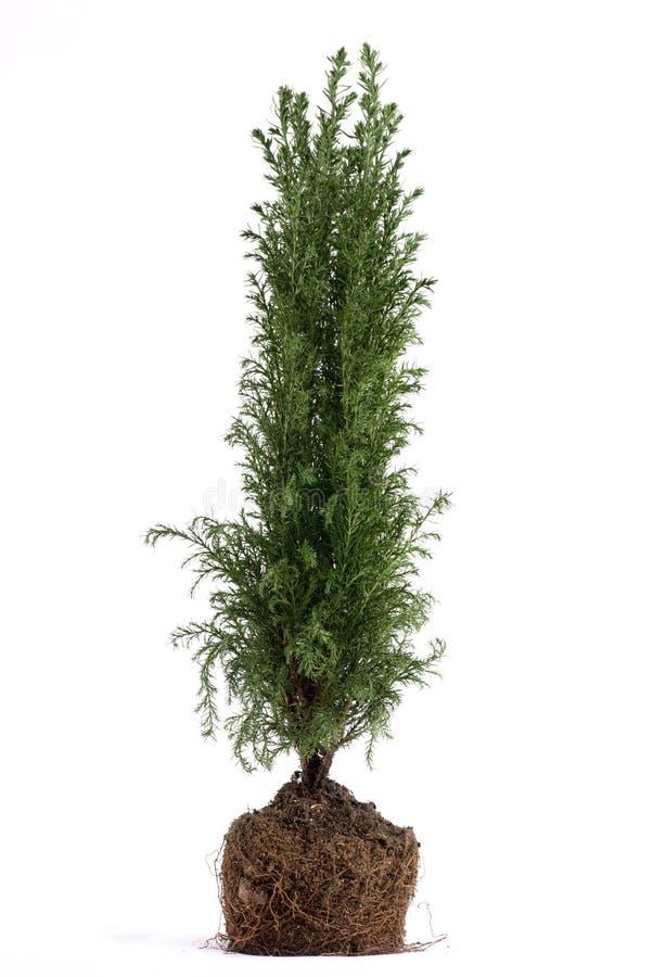 Planta da árvore fotografia de stock royalty free
