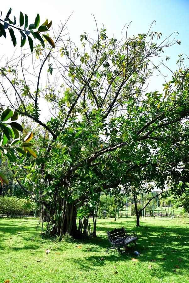 Planta da árvore da borracha foto de stock