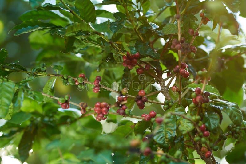 Planta da árvore de café fotografia de stock royalty free