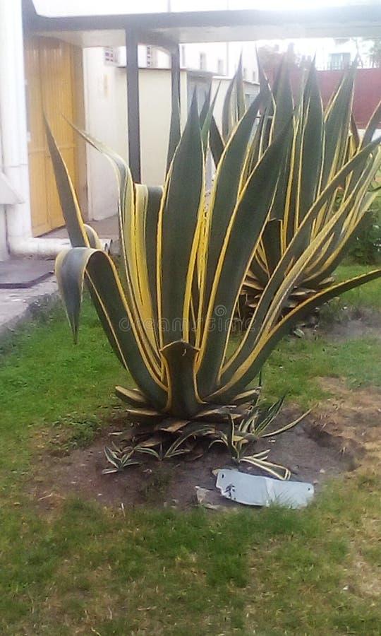 planta da agave fotos de stock royalty free