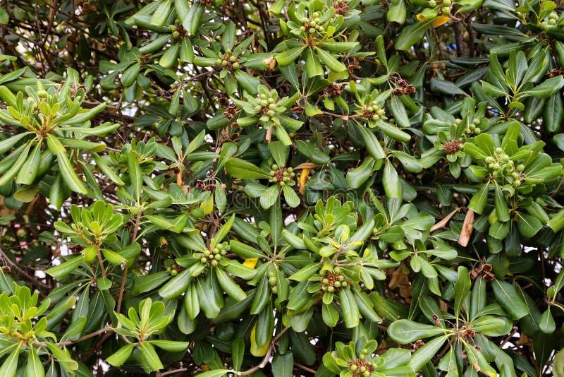 Planta da alcaparra, alcaparras e folhas verdes como uma cerca natural imagem de stock royalty free