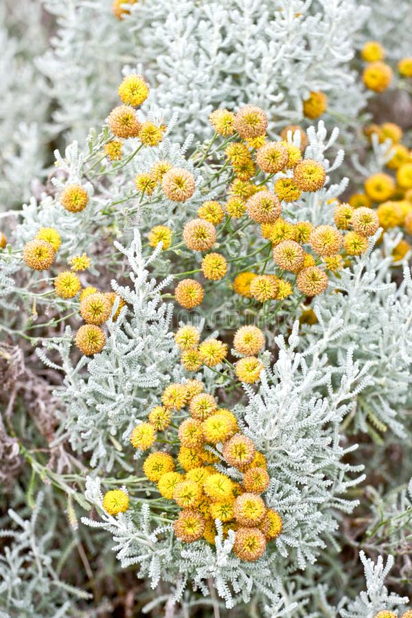 Planta da alfazema do algodão na flor imagem de stock