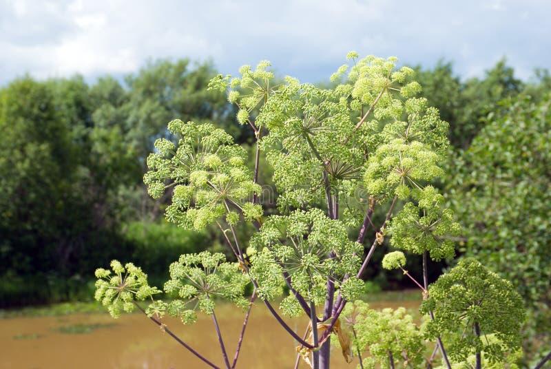 Planta da angélica. Close-up. foto de stock royalty free