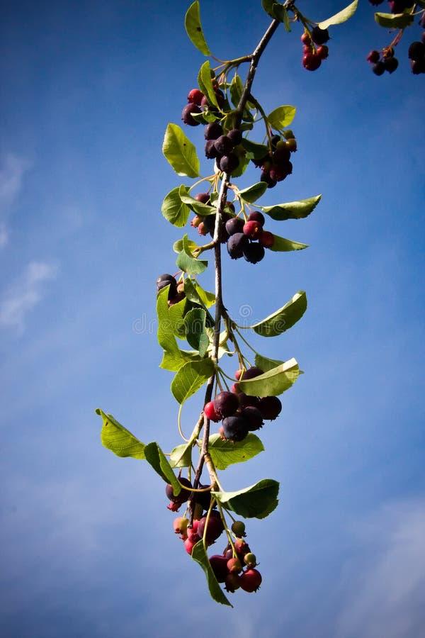 Planta da baga de Saskatoon fotos de stock
