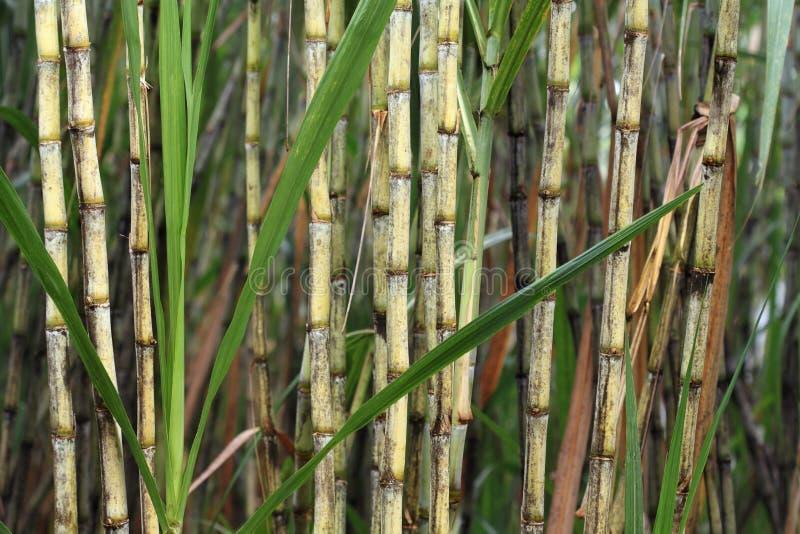 Planta da cana-de-açúcar fotos de stock