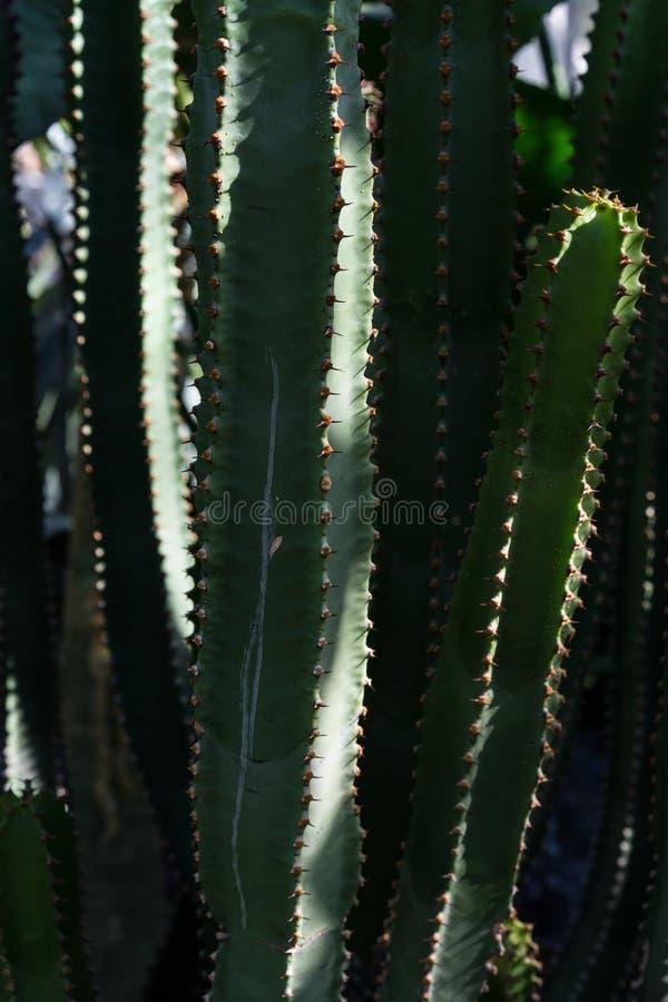 Planta da planta carnuda do cacto do canariersis do eufórbio fotos de stock royalty free