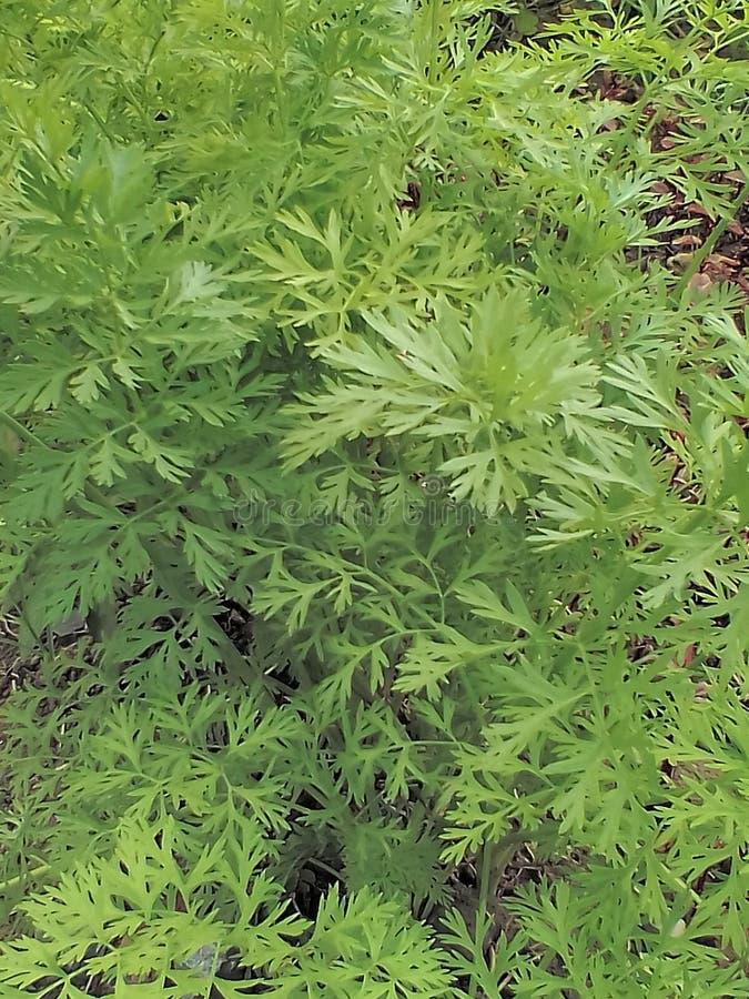 Planta da cenoura imagem de stock royalty free