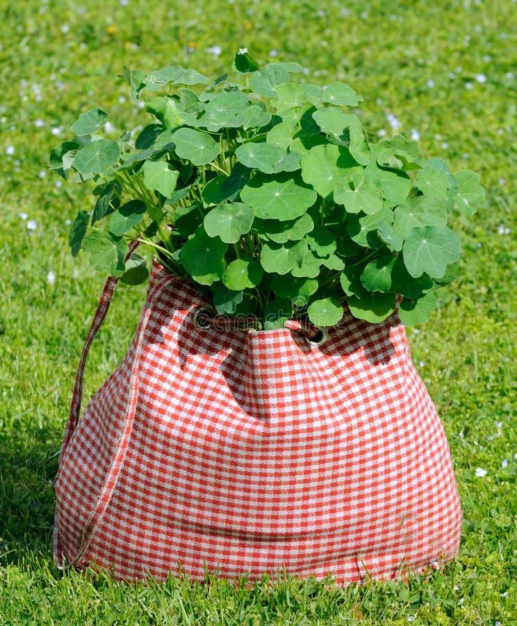 Planta da chagas no saco na grama verde foto de stock