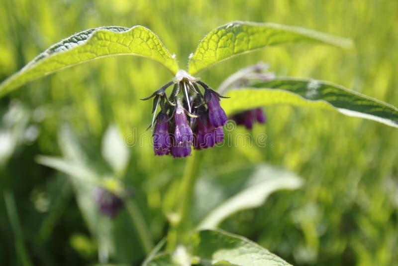 Planta da consolda-maior, com a flor do roxo, a violeta, e as folhas verdes, no prado fotografia de stock royalty free