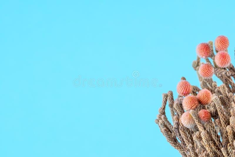 Planta da cor coral em um fundo azul foto de stock