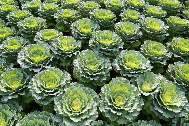 Planta da couve-flor imagem de stock royalty free