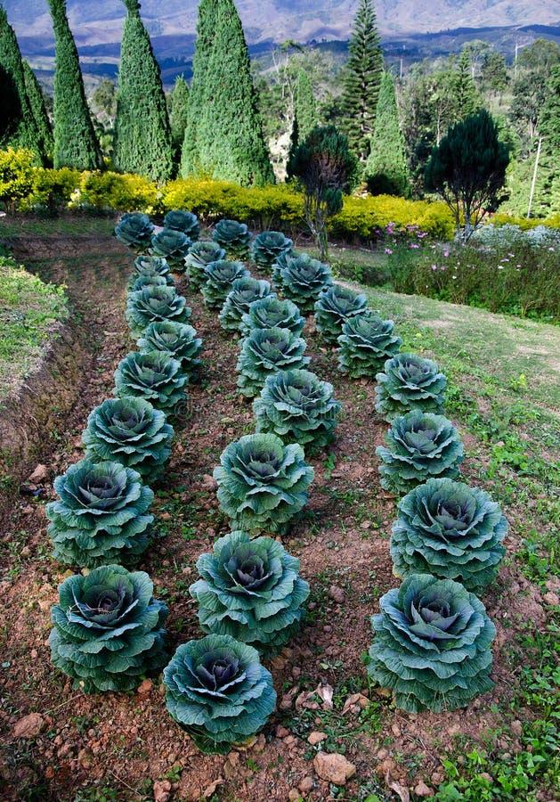Planta da couve verde imagens de stock