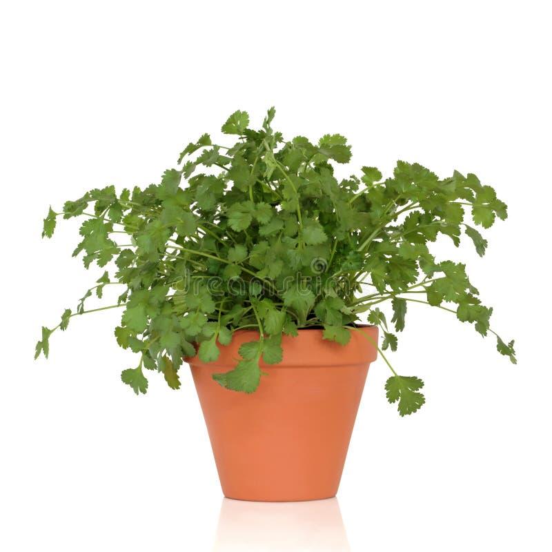 Planta da erva do coentro fotos de stock