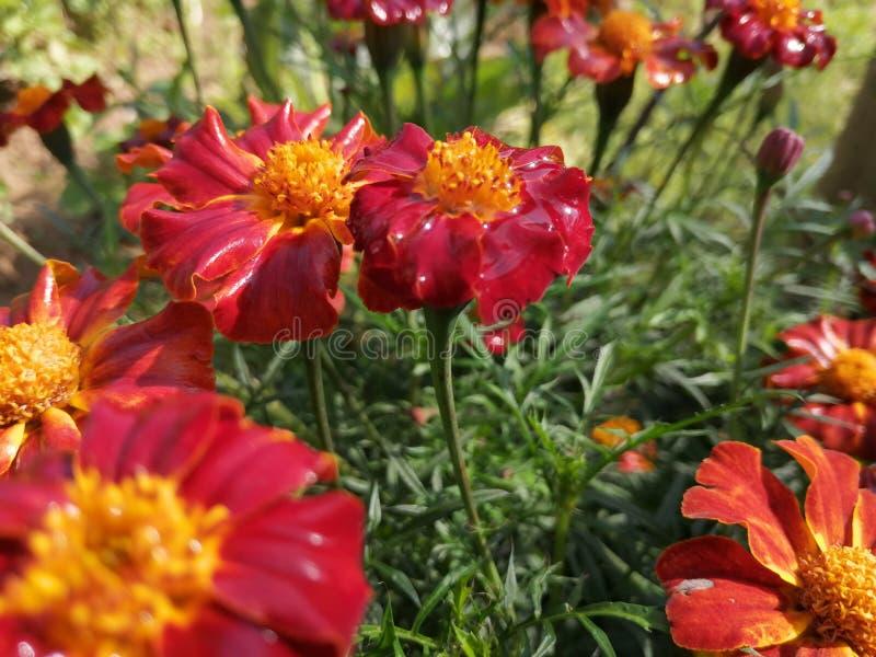 Planta da flor do cravo-de-defunto foto de stock