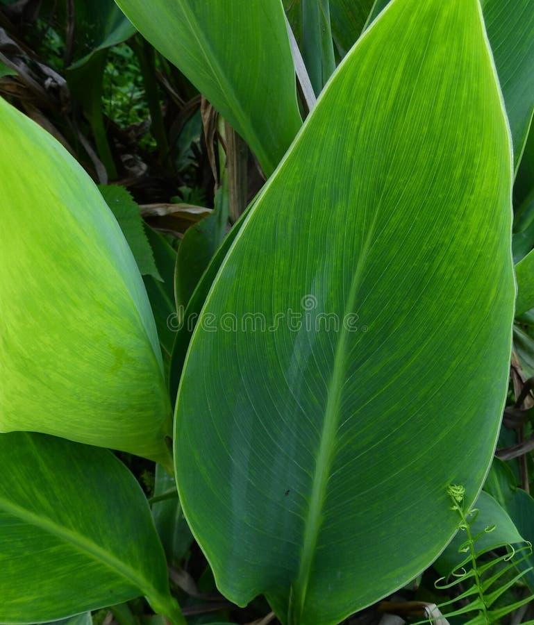 Planta da folha de Œgreen do ¼ do ï da folha de Canna fotografia de stock