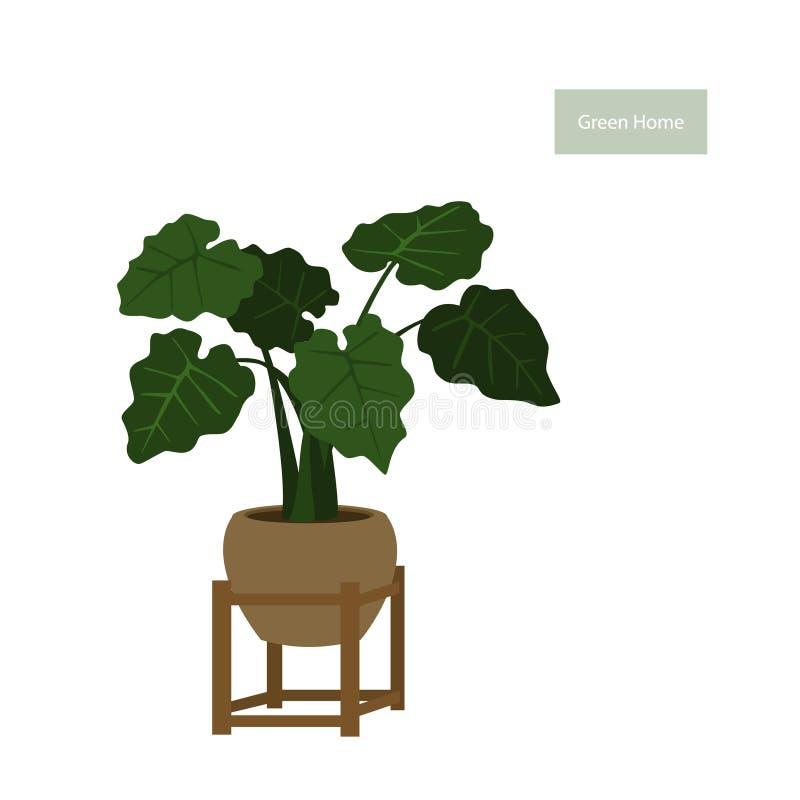 Planta da folha da orelha de elefante em um potenciômetro no suporte decorativo da planta ilustração stock