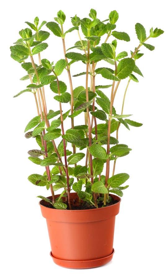 Planta da hortelã fresca em um potenciômetro isolado no branco fotos de stock