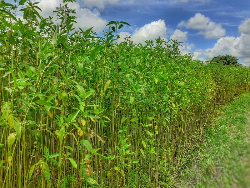 Planta da juta no campo Cultivo da juta em Assam na Índia imagem de stock royalty free