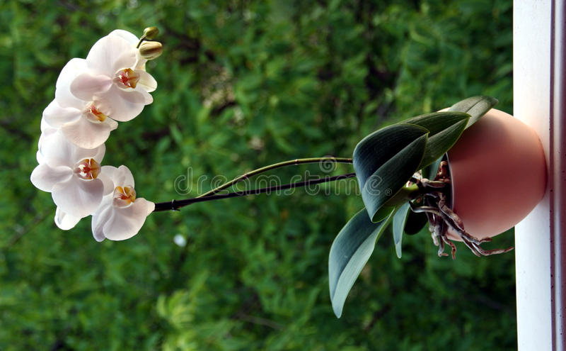 Planta da orquídea fotografia de stock royalty free