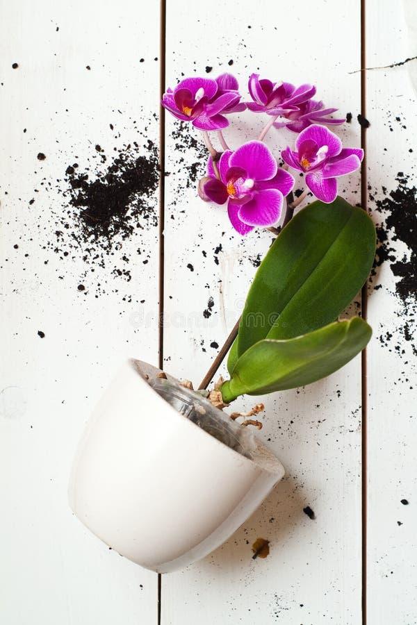 Planta da orquídea de Phal fotos de stock