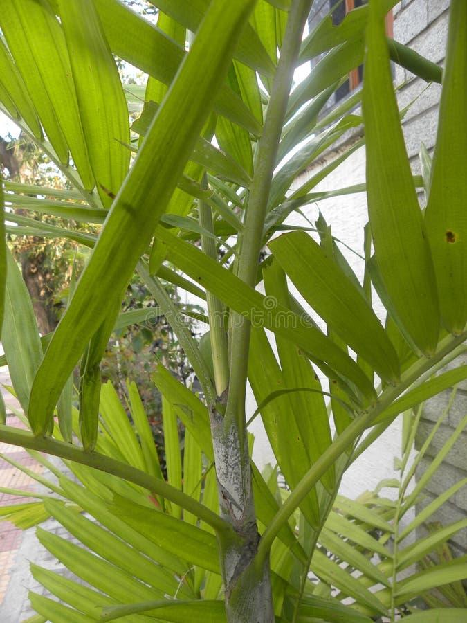 Planta da palma da areca no jardim foto de stock