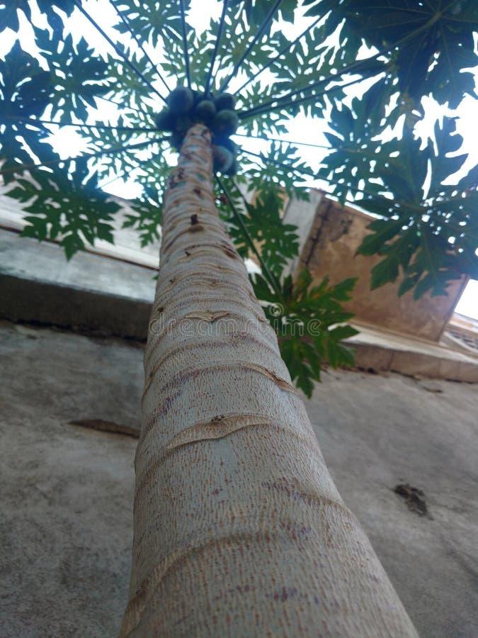 Planta da papaia foto de stock royalty free
