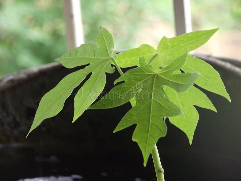 Planta da papaia fotografia de stock