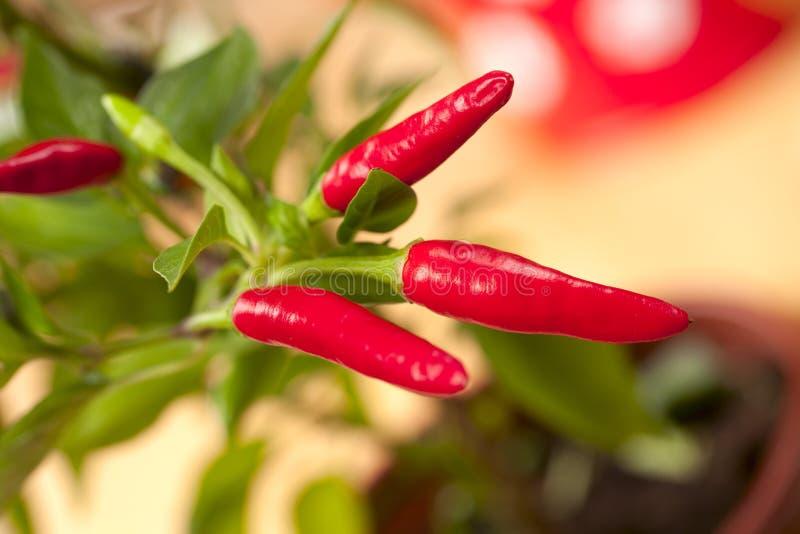 Planta da pimenta de pimentões vermelhos, muito quente foto de stock royalty free
