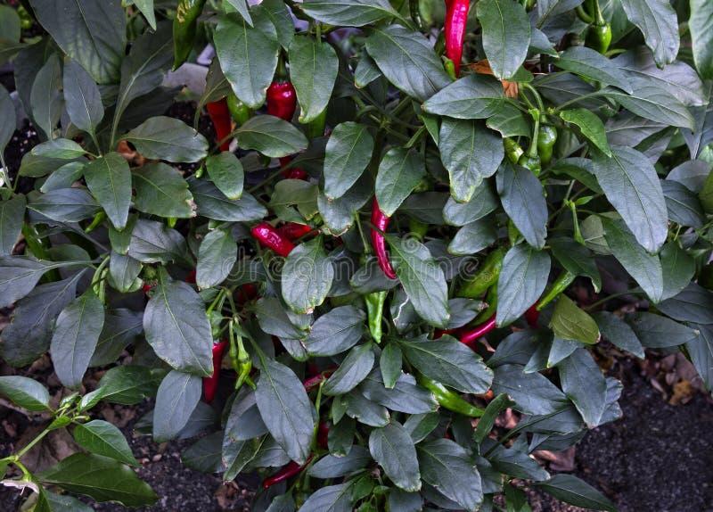 Planta da pimenta de Shishito do japonês fotografia de stock