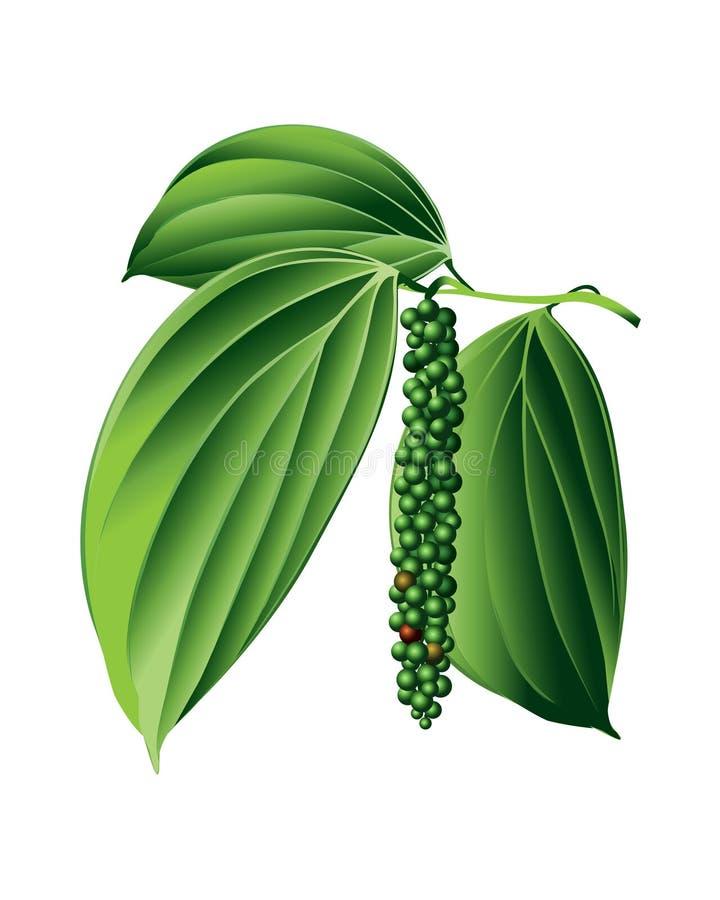 Planta da pimenta preta ilustração do vetor