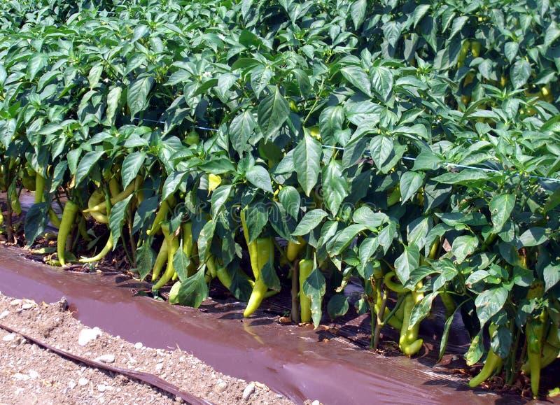 Planta da pimenta verde imagem de stock