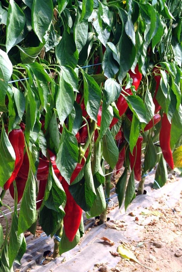 Planta da pimenta vermelha fotografia de stock