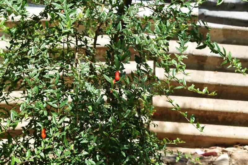 Planta da rom? com flores fotos de stock