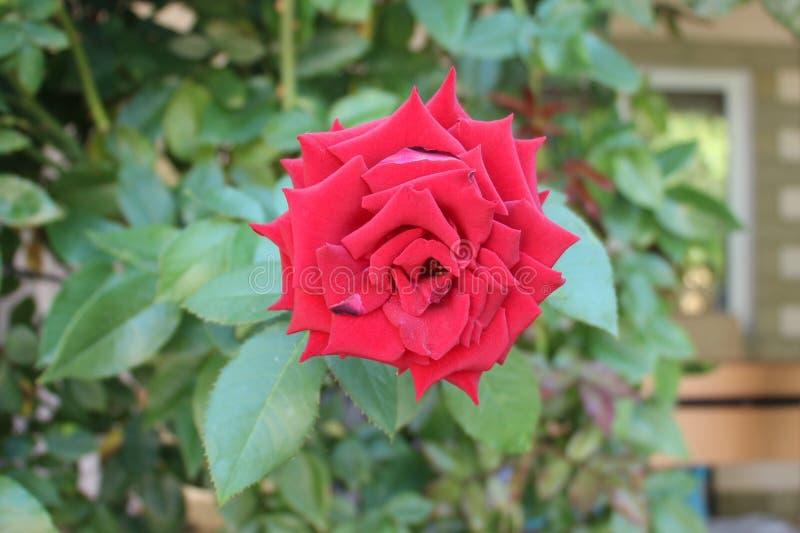 Planta da rosa do vermelho imagem de stock