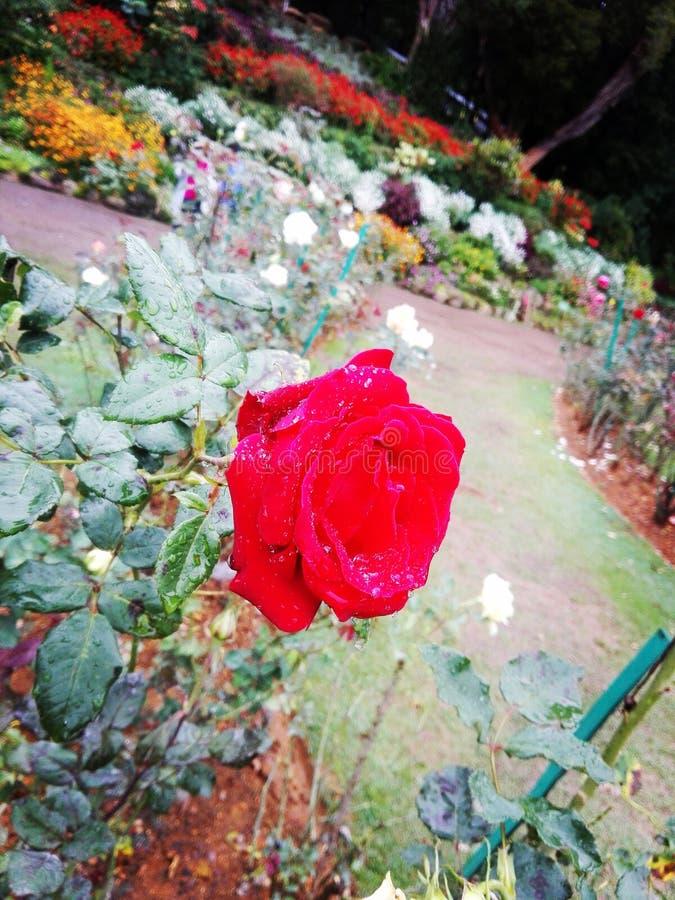 Planta da rosa do vermelho no lugar de Horton de Sri Lanka fotografia de stock royalty free