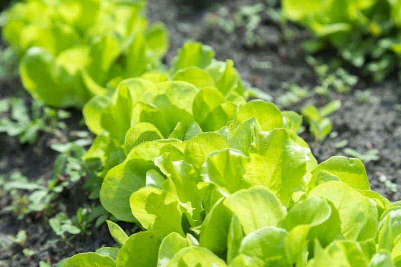 A planta da salada da alface de Butterhead, vegetal hidrop?nico sae salada verde fresca no solo e os potenci?metros, salada verde fotografia de stock