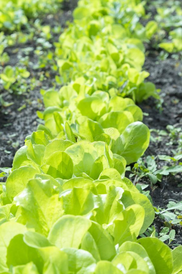 A planta da salada da alface de Butterhead, vegetal hidrop?nico sae salada verde fresca no solo e os potenci?metros, salada verde fotos de stock