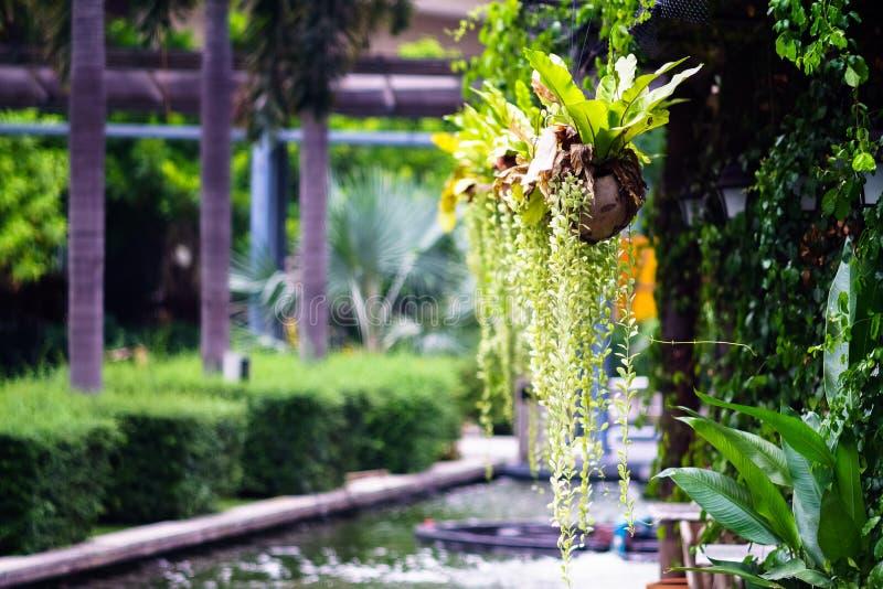Planta da samambaia do ninho do ` s do pássaro novo na decoração do shell do coco no imagens de stock royalty free