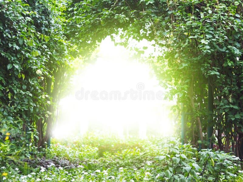 Planta da trepadeira do arco com luz solar imagem de stock