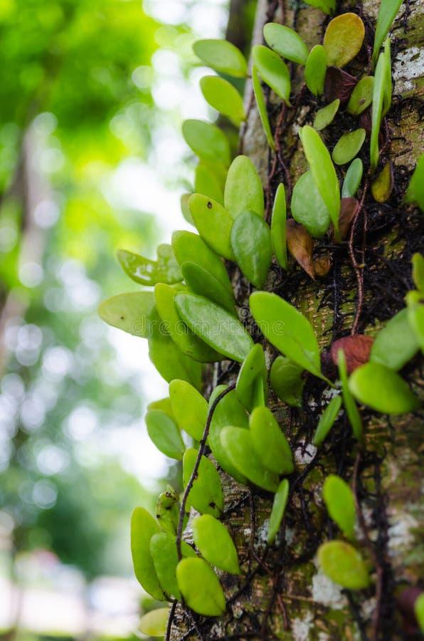 Planta da trepadeira na árvore fotografia de stock