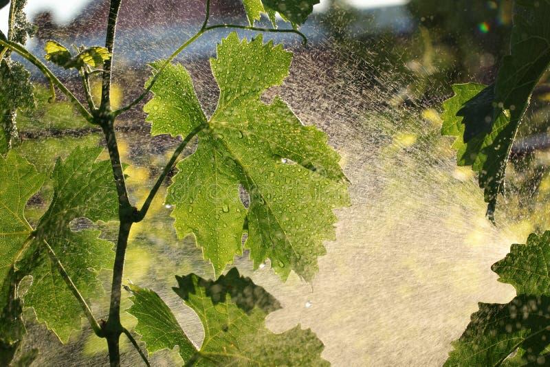Planta da uva que trata no vinhedo imagem de stock