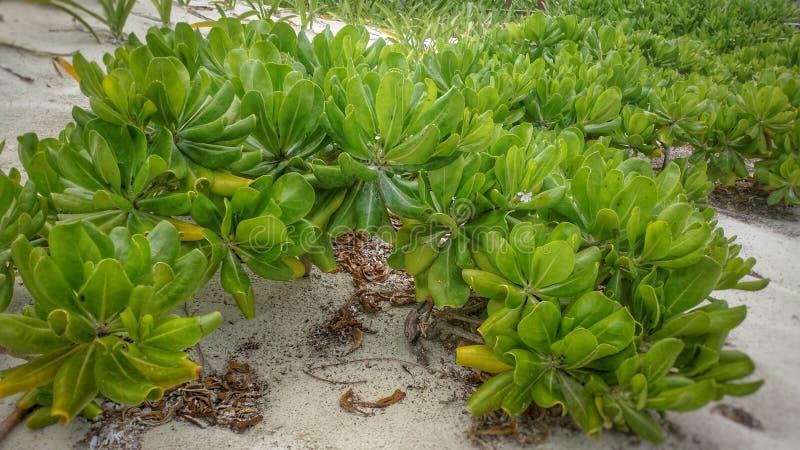 Planta das caraíbas na praia fotografia de stock