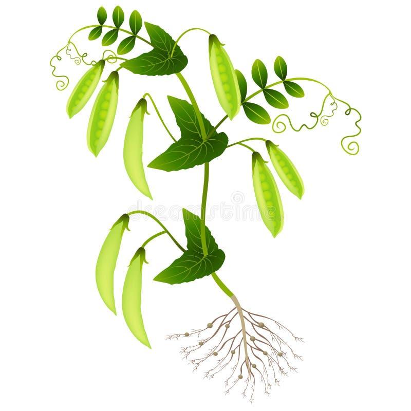 Planta das ervilhas com vagens em um fundo branco ilustração royalty free
