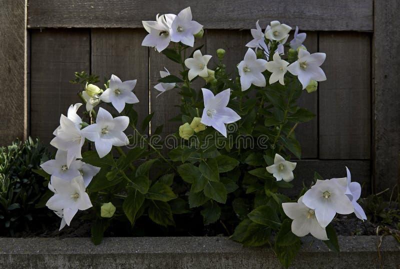 Planta das flores de balão no jardim fotos de stock